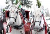 two white horses pulling a large red carriage