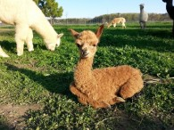 Ocean Breeze Alpacas